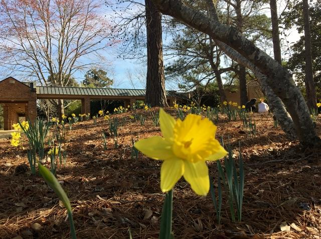 Daffodils by the science building (Photography by Anna Kate Alford)