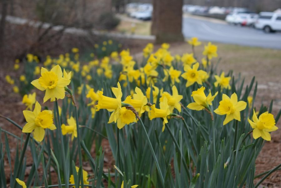 The Daffodils of Stratford